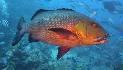 american red snapper fishing charters in boca grande florida